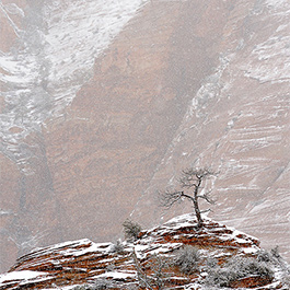 Lone Tree in Snow, Zion, UT