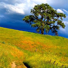 Oak Tree, Joseph Grant Ranch, CA