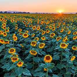 Sunflowers, Yolo County, CA